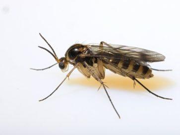 Fungus Gnat Pest Control
